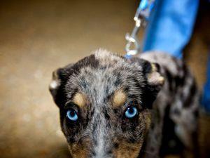 dog-blue-eyes_13036_990x742