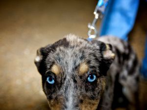 dog-blue-eyes_13036_990x742