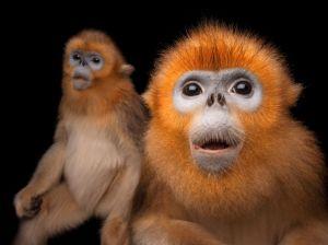 golden-snub-nosed-monkeys-sartore_72059_990x742