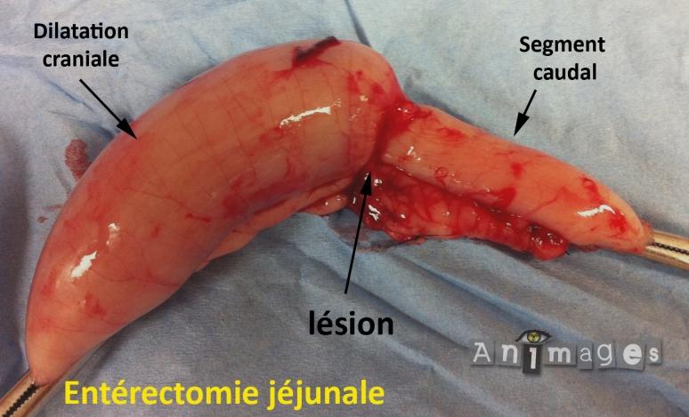 Macroscopique: lésion jéjunale