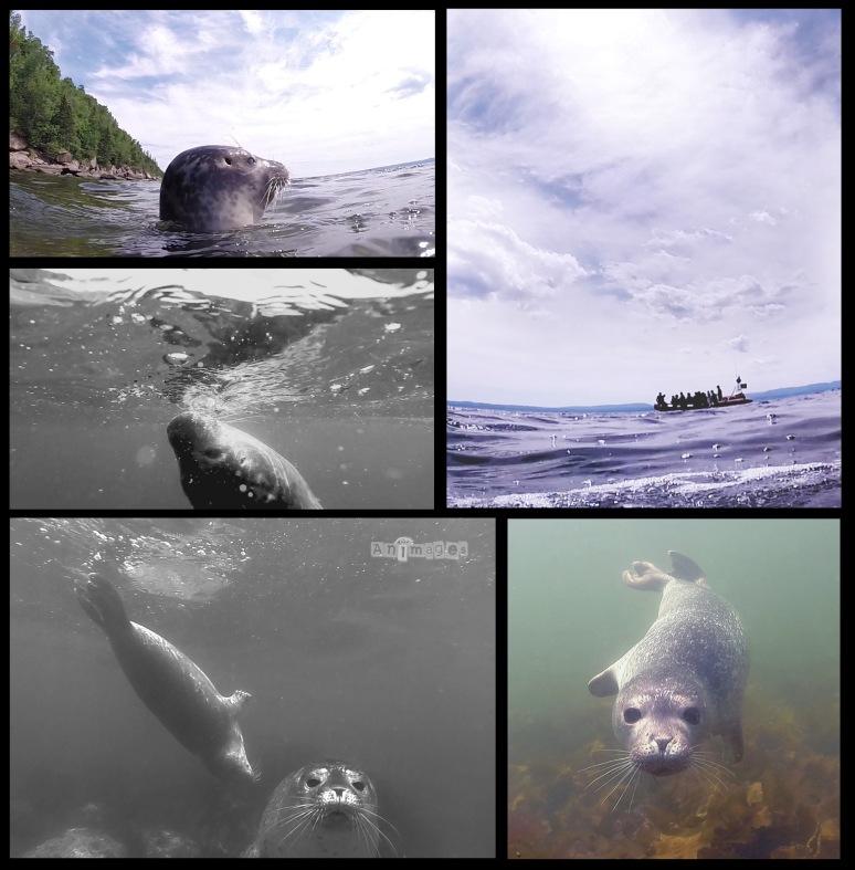 baignade avec les phoques